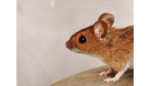 Microneedle skin patch delivers fat-burning drug in mouse trial